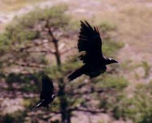 Les oiseaux d'augure (2ème partie) Oiseau_augure2