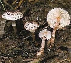 les champignons vont sortir - Page 2 Lepiota-helveola