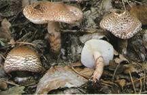 les champignons vont sortir - Page 2 Lepiota-brunneoincarnata
