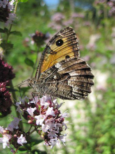 le papillon de Martin du 10 février trouvé par Gin-to Papillon-l-Agreste--3-