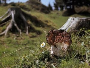 les champignons vont sortir - Page 2 Gyromitra-gigas--2-