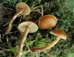 les champignons vont sortir - Page 2 Galerina-badipes