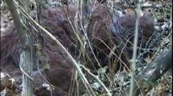 Des scientifiques affirment avoir filmé un Bigfoot endormi Des-chercheurs-du-sasquatch-genome-project-auraient-reussi-