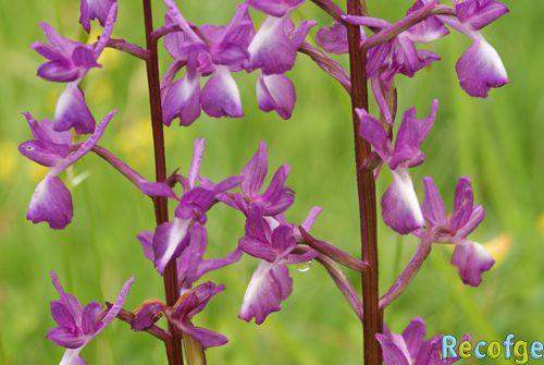 Anacamptis laxiflora ( Orchis à fleurs lâches ) 06-Anacamptis_laxiflora