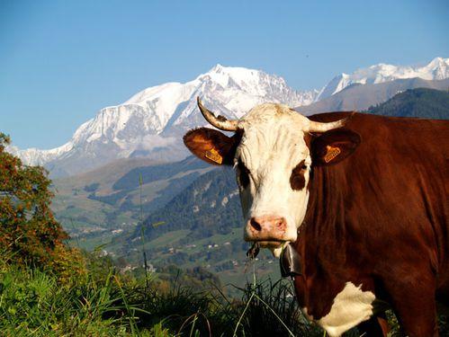 Bonne Samedi Vache_mont_blanc