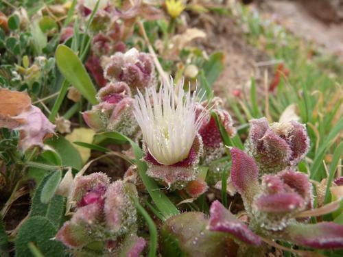 une fleur à découvrir par blucat (13juillet)trouvée par ajonc P1010093-herbe---glace