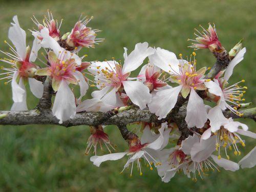 Bonne mardi Fleurs-_amandier