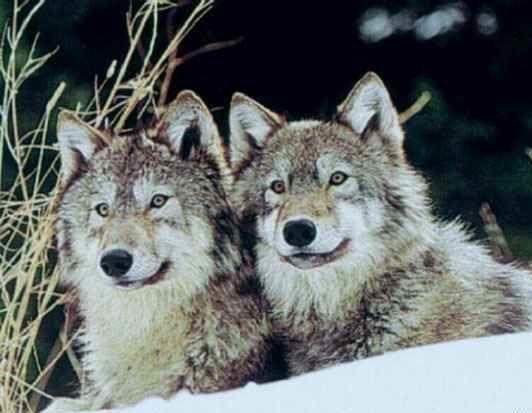 image de le loup Loup