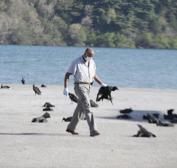Trinité et Tobago : 190 vautours s'écrasent sur un héliport Oiseaux