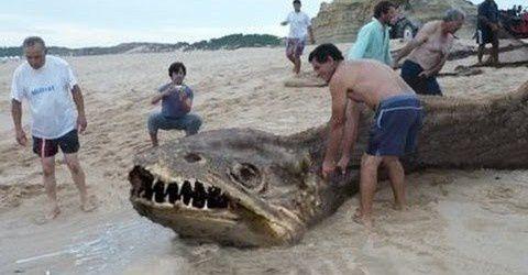 Portugal : un animal monstrueux inconnu retrouvé échoué sur une plage 480x250xmonstro-encontrado-em-praia-do-nordeste-480x250.jpg
