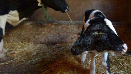 Un veau à deux têtes né le jour du Nouvel An au Maroc Media_xll_6372743
