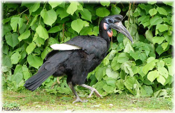 l'animal de Martin du 5 janvier trouvé par Martine - Page 2 Calao-d--Abyssinie-2b-male