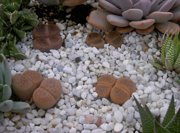 La culture des Lithops - Page 2 Octobre-2010--46-