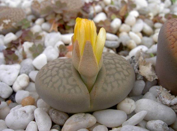 La culture des Lithops - Page 2 Octobre-2010--72-