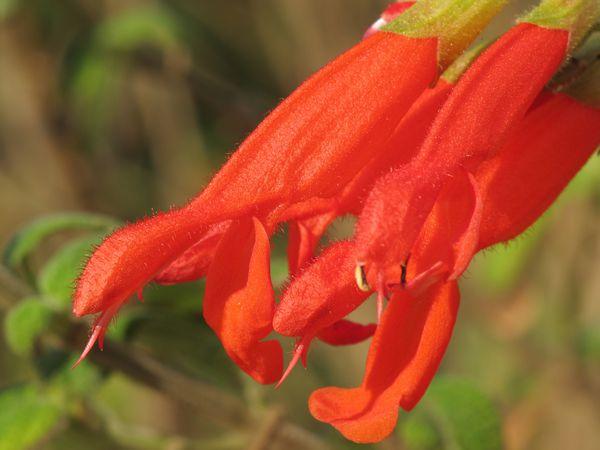 une fleur à découvrir par blucat (21juillet)trouvée par ajonc - Page 2 Salvia-gesneriflora