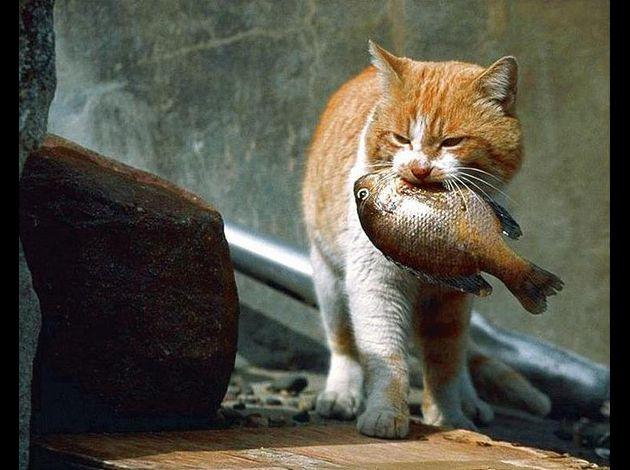 Cuisinier pour nos félins Chat-mange-poisson