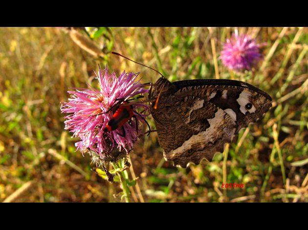 le papillon de Martin du 10 février trouvé par Gin-to PAPILLON-SILENE---AGRESTE--3-