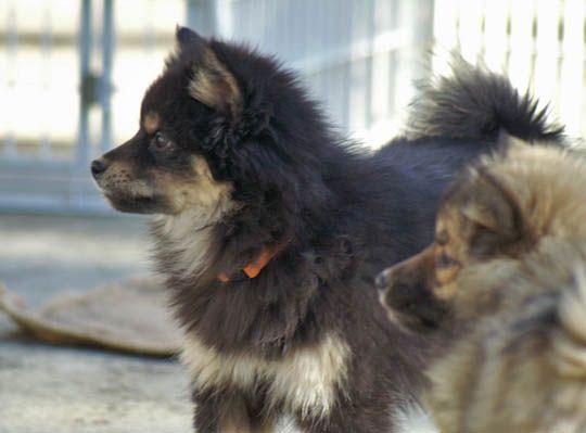 Типы и разнотипы - Страница 16 Kawakami-ken-puppies