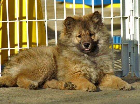 Типы и разнотипы - Страница 16 Kawakami-ken-puppy