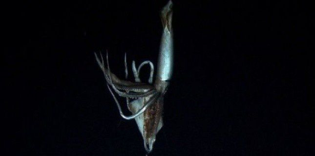 Un calamar géant filmé dans le Pacifique par 900 m de fond 5012336-copie-1