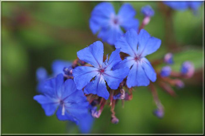 une fleur - blucat- 8 août trouvée par martine Fleur-bleue