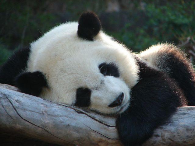 I životinje odmaraju - Page 2 Panda-oddychuje