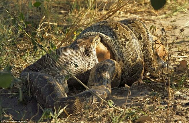 Ảnh động vật: Con trăn khổng lồ nuốt chửng chú linh dương Tran_linhduong5