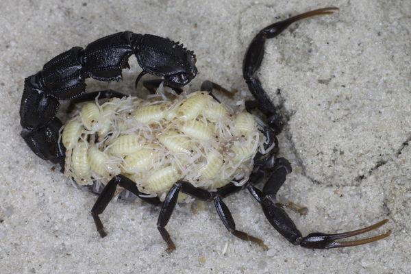 First offspring after hibernation 2015 A.bicolor_Egypt_I1