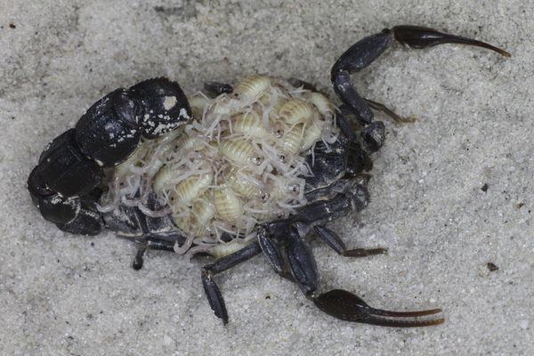 First offspring after hibernation 2015 A.sp.Fes_I1_1