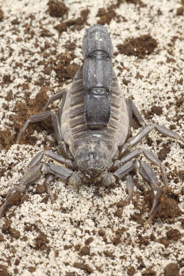 A closer look at Androctonus liouvillei from Morocco A.liouvillei_0.1_2