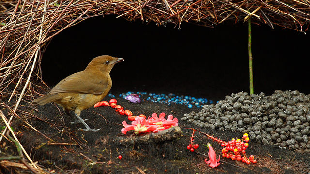 un oiseau à découvrir Martin 24 septembre trouvé illico par Martine Vogelkop_shal-4404fa8