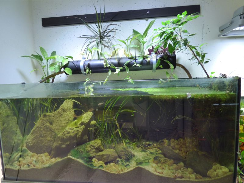 300L Tanga: Multi/cyprichromis - Page 2 P1020841-4cd7017