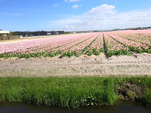 Petit tour au Benelux (2/3) 15-tulipesautour-4b634c1