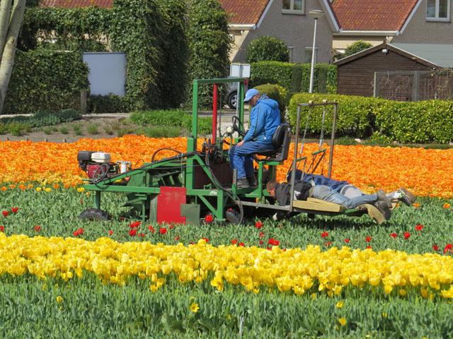 Petit tour au Benelux (1/3) 20-entretien-tulipes-4b443bb