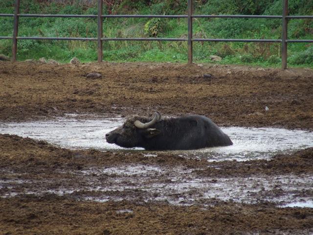 La Campanie ... en 2006 Buffala-511bee2