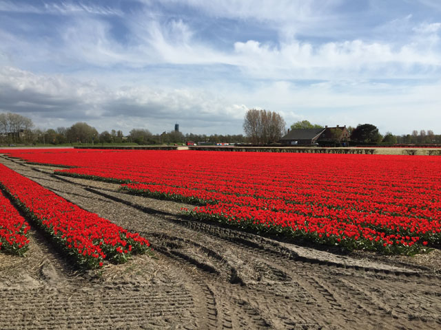 Petit tour au Benelux (2/3) 14-tulipesautour-4b634b7