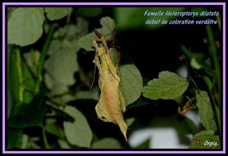 Heteropteryx dilatata (P.S.G n°18) - Page 4 P04-53c9fa0