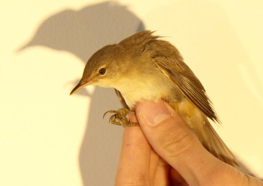 un oiseau -ajonc- 19 février bravo Martine  Rousserollesp2-2999f3b