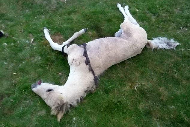 Suspicion de mutilation classique en Grande Bretagne Dartmoor-25.07.2013-01--4002ecb