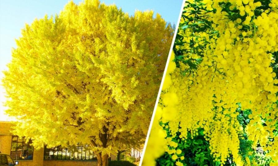بالصور استمتع بجمال وسحر الطبيعة..أجمل 15 شجرة فى العالم 238701-%D8%B4%D8%AC%D8%B1%D8%A9-%D8%A7%D9%84%D9%85%D9%8A%D9%85%D9%88%D8%B2%D8%A7%D8%8C-%D8%A3%D8%A8%D8%AE%D8%A7%D8%B2%D9%8A%D8%A7