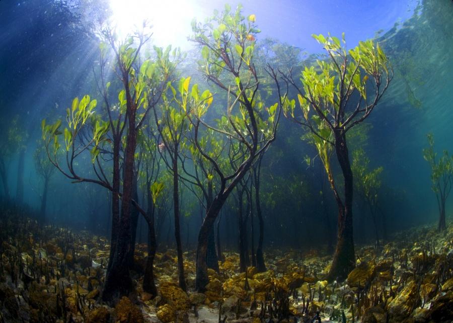 بالصور استمتع بجمال وسحر الطبيعة..أجمل 15 شجرة فى العالم 243238-%D8%B4%D8%AC%D8%B1-%D8%A7%D9%84%D9%85%D8%A7%D9%86%D8%AC%D9%88-%D8%AA%D8%AD%D8%AA-%D8%A7%D9%84%D9%85%D8%A7%D8%A1