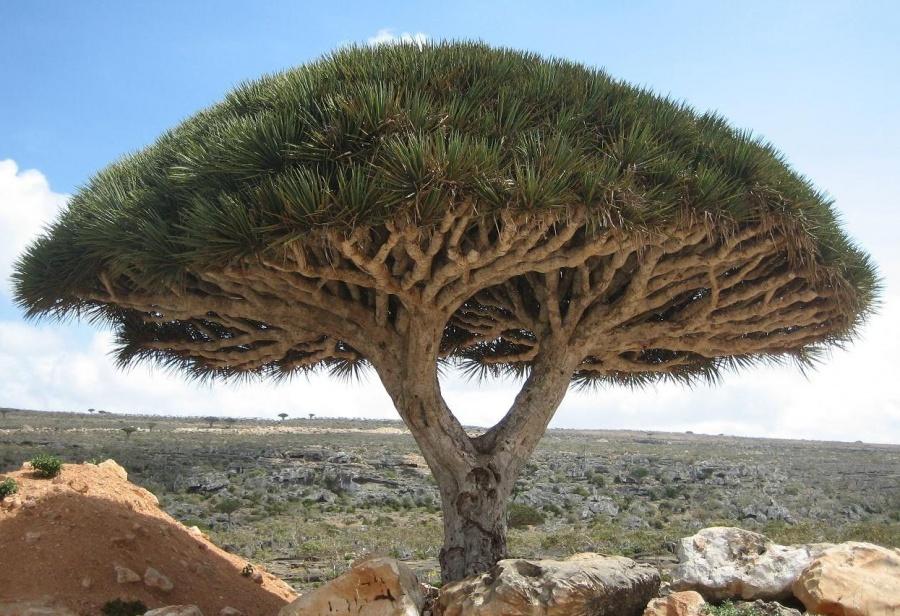 بالصور استمتع بجمال وسحر الطبيعة..أجمل 15 شجرة فى العالم 250130-%D8%B4%D8%AC%D8%B1-%D8%AF%D8%B1%D8%A7%D8%AC%D9%88%D9%86-%D8%AC%D8%B2%D9%8A%D8%B1%D8%A9-%D8%B3%D9%82%D8%B1%D8%B7%D9%89