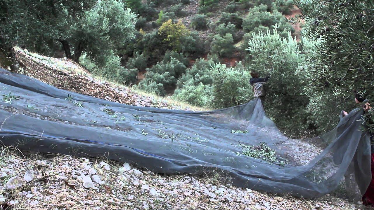 Criterios para elegir un buen vibro para olivar Maxresdefault