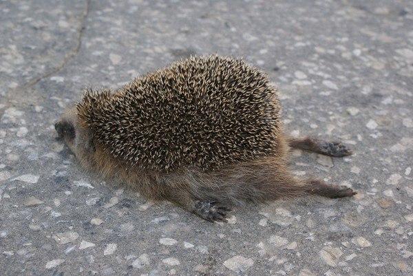 DEFIS ZOOOOOOM Monde B092 à B159 - (Novembre 2013/Mars 2016)  - Page 25 Tired-hedgehog-lay-sleeping-asphalt-301869