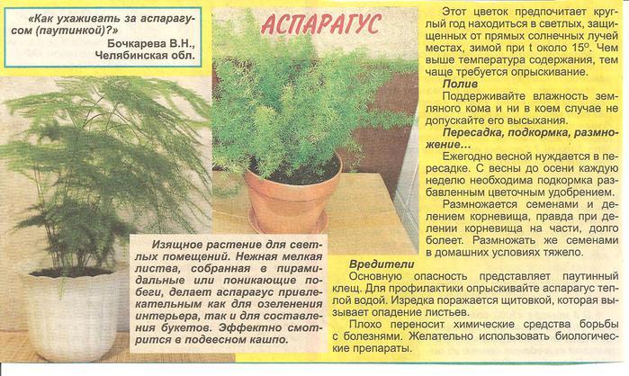 Аспарагус. 68622473_Izobrazhenie_037