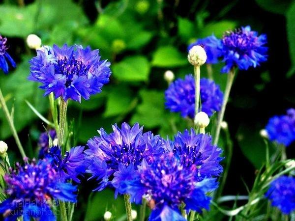 Легенды о цветах 70015608_gc_vasilki