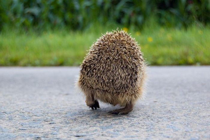Смешные истории - Страница 2 76689736_1261917219_1261714113_very_cute_hedgehogs_18