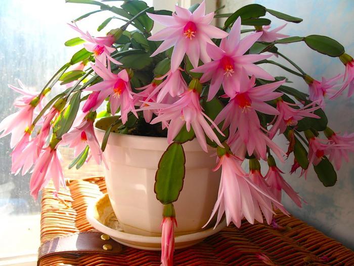 А что растет у нас на подоконнике ... цветы в доме. - Страница 20 81601204_4080226_0_7572e_8cf43cf3_XL