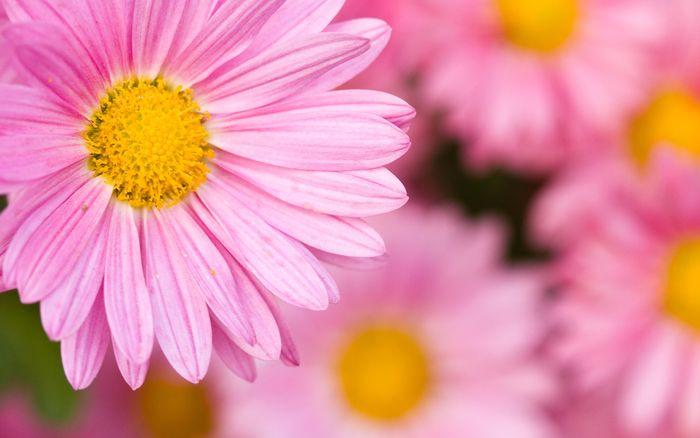 Цветы 87804378_large_2835299_chrysanthemum014_bensonkua_sa_display