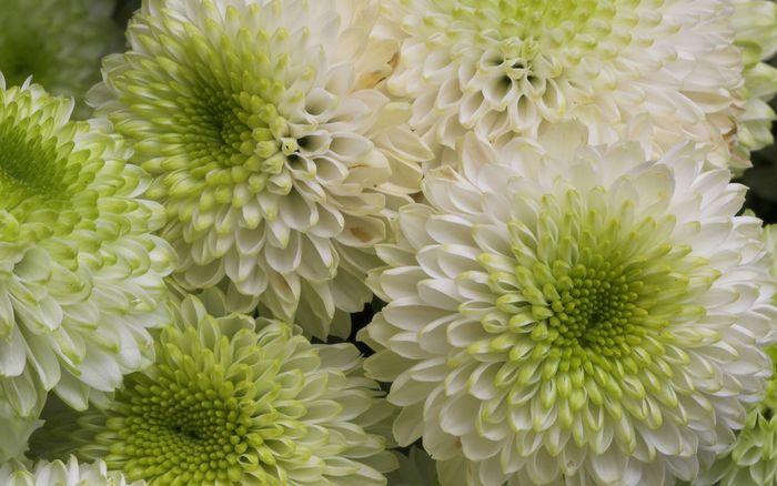 Цветы 87804380_large_2835299_chrysanthemum017_shenghunglin_ncnd_display